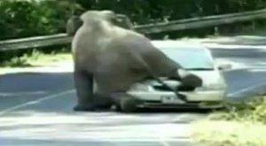 Döbbenetes szexpartnert talált az elefánt - videó