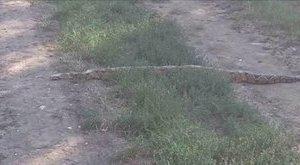Izomból ölhet az elszabadult maklári kígyó