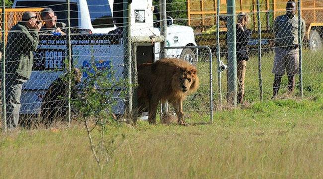 Szabadon engedték a megkínzott oroszlánokat