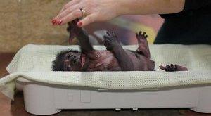 Cukiság: makkegészséges a koraszülött bébigorilla