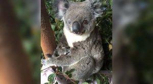 Cukiság: Felemás szemű koalát találtak, David Bowie lett a neve