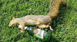 Részeg mókus okozott több mint 100 ezer forintos kárt