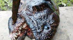 Mutáns piranhát találtak Oroszországban