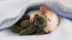 9 napja a kanapén alszik egy patkány miatt