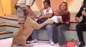 Élő tévéműsorban támadta meg az oroszlán a csecsemőt