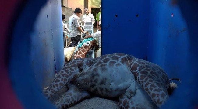 Megrázó: pánikroham vitte el a depressziós zsiráfot