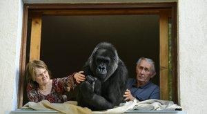 Családtaggá vált a gorillalány