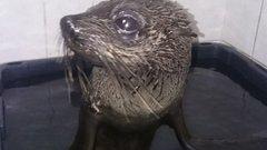 Szomorú: 4000 kilométerrel kóborolt el, majd elpusztult a fókabébi