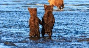 Medvebocsok egymás mancsát fogják, míg anyjuk vadászni megy