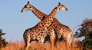 Egy zsiráf nem zsiráf?!