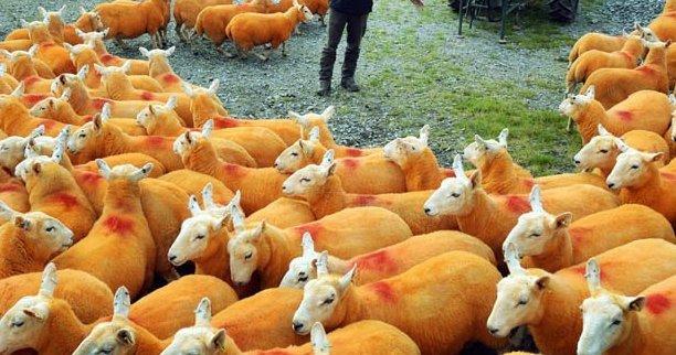 Narancssárga birka? Igen, és nem is véletlenül