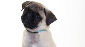 Állatorvosok figyelmeztetnek, ne vásároljunk nyomott orrú kutyákat!