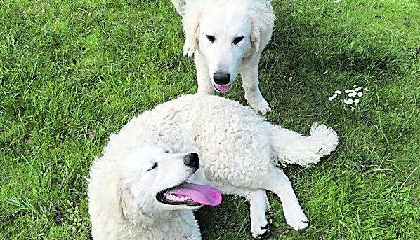 Meggyötörve kerültek elő Szörényi kutyái