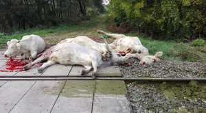 Az állatok élete senkit sem érdekel?Mészárszék a vasúti átjárókban