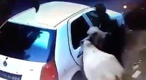 Hihetetlen: autóba tuszkolták a tehenet a tolvajok - videó!