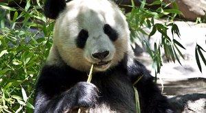 Az amerikai pandáknak meg kell tanulniuk kínaiul. Igen, a pandáknak