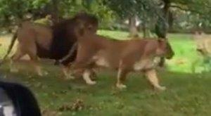 Amíg a szülők csodálták az oroszlánokat, addig a csecsemő más tett