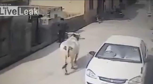 Hihetetlen alattomos volt ez a tehén