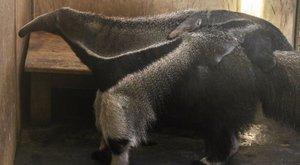 Cuki: a Bejgli nevet kapta az állatkert hangyásza - fotók