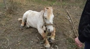 Kegyetlen: kikötözve éheztette lovát a monori gazda