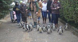 Pingvinekkel sétálgatna? Itt az alkalom!