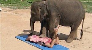 Életüket kockáztatják az elefántmasszázsra vállalkozók