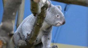 Meghalt a budapesti állatkert egyik koalája