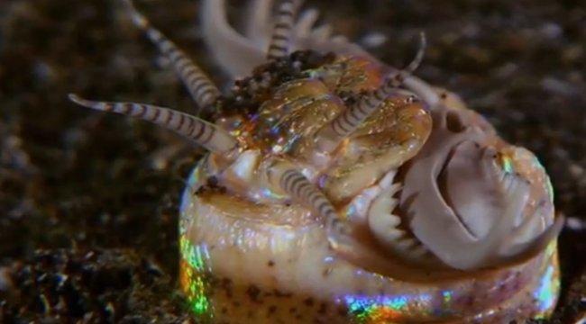 Péniszmetszőről kapta nevét ez a bizarr lény (videó)