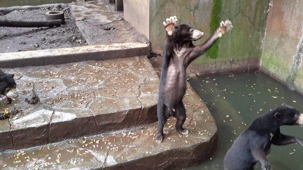 Egy biztos: nem akar medve lenni a jávai állatkertben