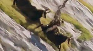 Sas támadt a kecskére.Vajon melyikük győzött? (videó)