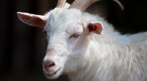 Bizarr fotók: kecskét szült egy nő