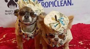 Ettől falnak megy: így néz ki egy divatshow - kutyáknak! bizarrfotók