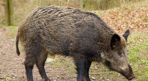 Radioaktív vaddisznók grasszálnak Európában