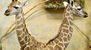 Irtó cuki zsiráfbébiikrek születtek a Fővárosi Állatkertben! (képek)