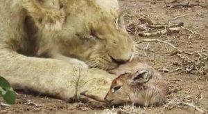 Most komolyan, mit csinál ez az oroszlán a bébiantiloppal?!