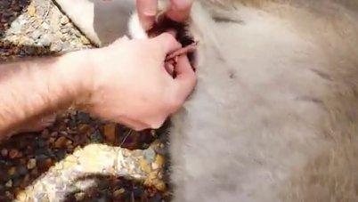 Halott anyjából menekítették ki a tenyérnyi kengurut