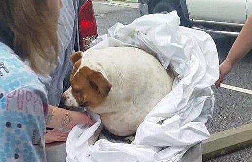 Ilyen kövér kutyát még az orvosok sem láttak