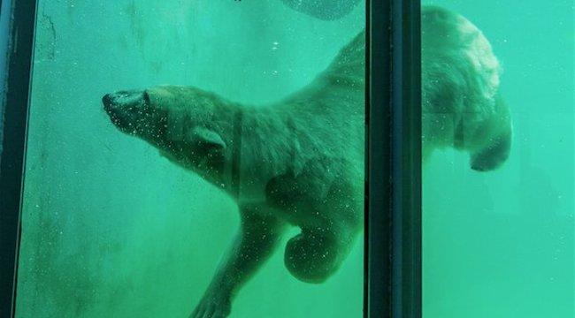 Önfeledten pancsoltak a budapesti állatkert új jegesmedvéi