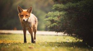Meghalni indult a róka, a győriek megmentették