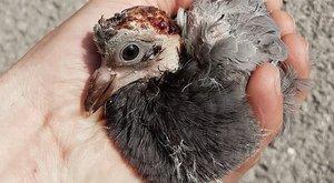 Borzalmas állatkínzás! Árokba rúgta a nő a sérült galambot Miskolcon