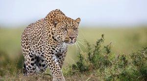 Lezárás: leopárd sétált a reptéren