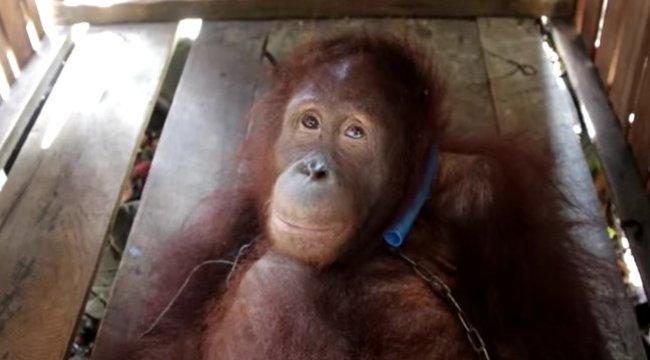 Évekig élt kiláncolva egy sötét ládában a szerencsétlen orángután