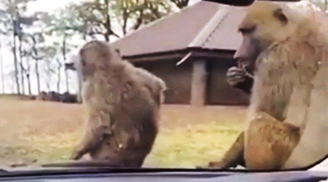 Ezért rossz ötlet vadiúj autóval szafariparkba menni - videó