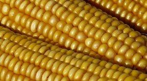 Büntiből verte és térdeltette kukoricán a fiát egy bokodi férfi