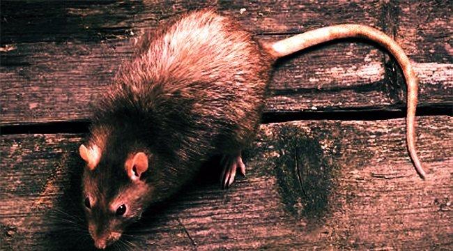Anyák napi horror: patkányharapások borították az újszülöttet