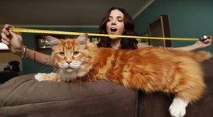 Kenguruhúst akar a világrekorder macska