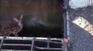 A nap jó híre: kiszabadították a csapdába esett gidát