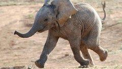 Nézze, milyen apróság is képes halálra rémíteni egy elefántcsordát - videó