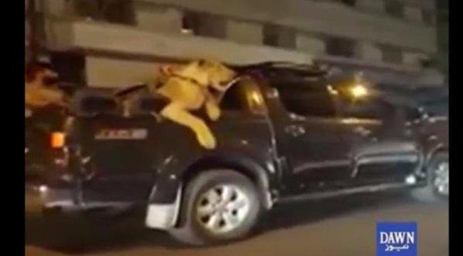 Stílusosan utaztatott egy oroszlánt – letartóztatták (videó)