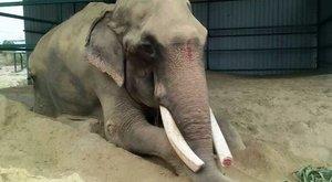 Ez a 70 éves elefánt, először lépdel láncok nélkül